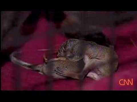 chihuahua-adopts-baby-squirrels