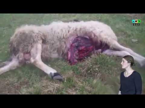 CHOC : Attaques de loups, des éleveurs publient une vidéo choc pour dénoncer les attaques de loups