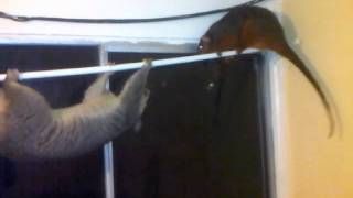 Common Brushtail Possum VS Common Ringtail Possum