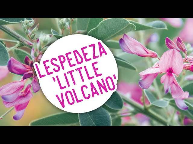 Plant of the Week: Lespedeza 'Little Volcano'