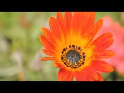 Grupo De Animação Seca Adegas - Açores Florido