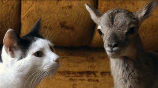 Gentle Pancake the cat and his newborn lamb