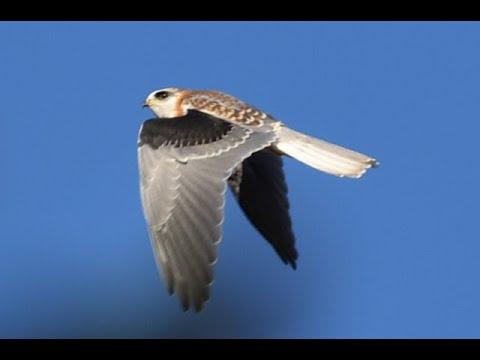 White Tailed Kite Sounds (turn Volume Up)
