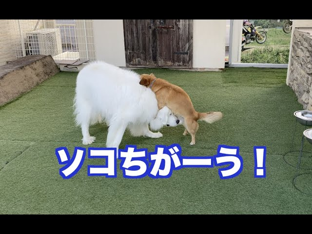 さくらとコロ太が遊ぶ様子 グレートピレニーズ&MIX犬