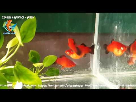 чернохвостая пецилия, аквариумная рыбка, как я их размножаю, содержу