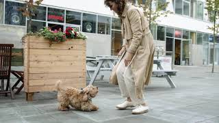The bond between the havanese dog breed and its owner.
