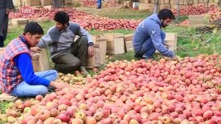 Beautiful Apple orchads  - kashmir , India
