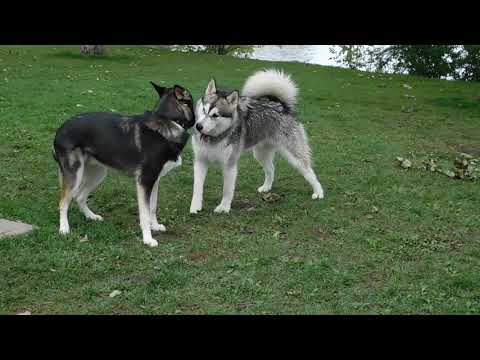 Alaskan Malamute Sojou Party in the Dog Park Bae D'Urfe QC