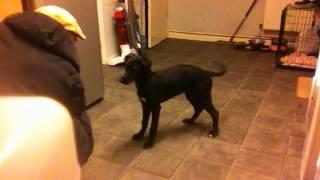 Lurcher Puppy Training