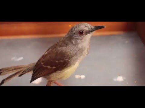 Suara Burung : Subhanallah! Ada Ciblek Banten Kesetanan Ngebren Panjang Tahan Lama