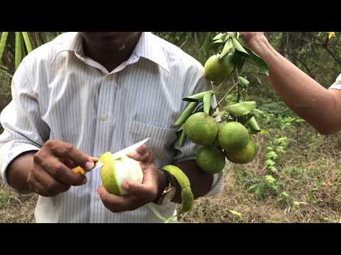 Our Travel In Cambodia / Tasting  Fruits From Organic Farm / Country Fruits