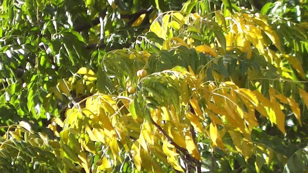 White cedar melia azedarach youtube mightylinksfo