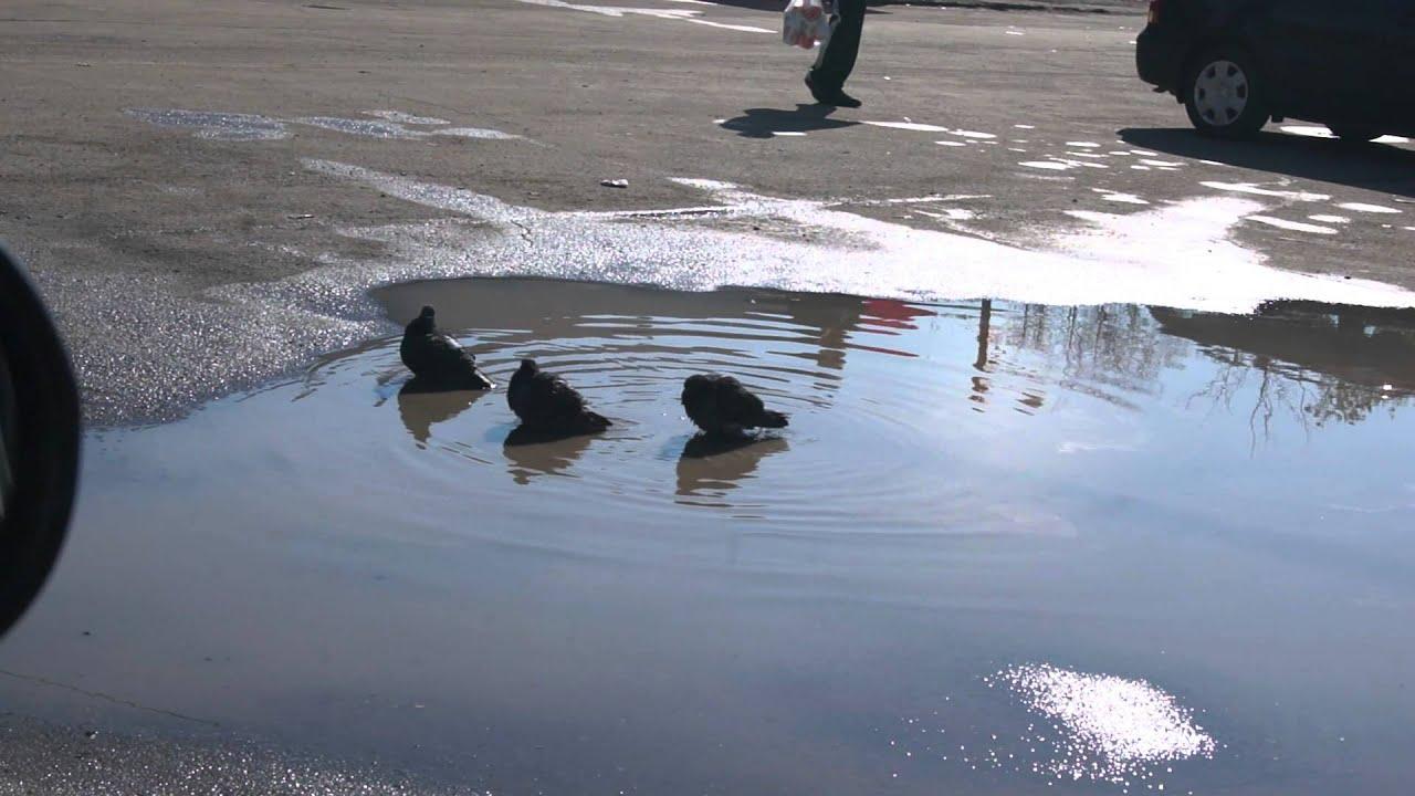 Голуби купаются и воробей подошел