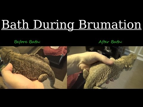 Bath Time During Brumation - Rocky The Bearded Dragon!