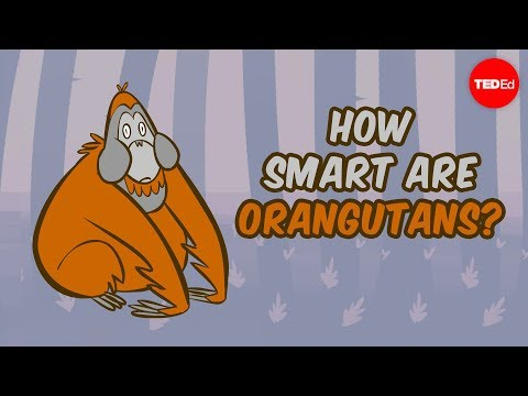 How Smart Are Orangutans? - Lu Gao