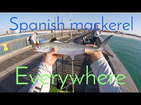 spanish mackerel frenzy