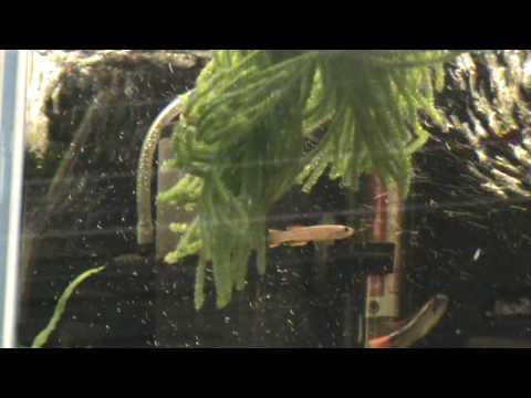 Spawning Mop For Killifish And Corydoras At Tyne Valley Aquatics