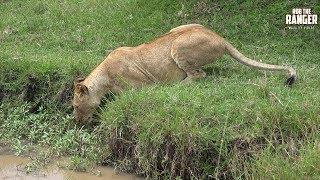 Paradise Lion Pride | Maasai Mara Lions