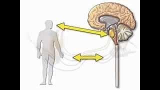 Нервная система - краткий обзор