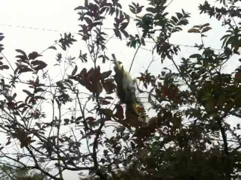 Bẫy chim bằng lưới - 0984.905.905
