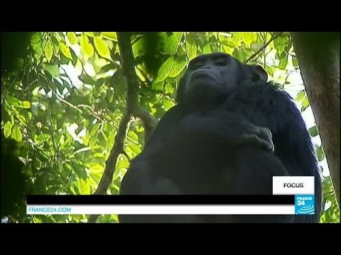 Uganda: Chimpanzees suffer collateral damage from increased poaching