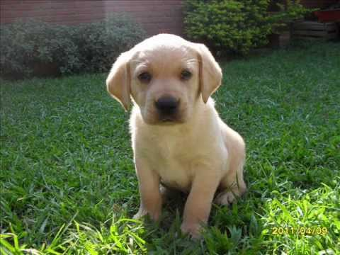 Cute Wallpapers Puppy Drawing Labradores Cachorros Youtube