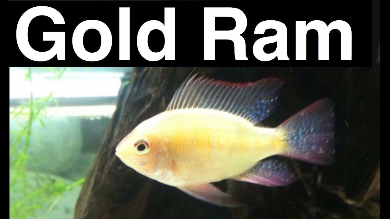 German Gold Ram Cichlid Care Aquarium Golden Ram Youtube