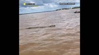 Jacaré é flagrado ao lado de banhista em Marabá; Assista o vídeo!