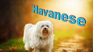 Havanese Dog Breed Info.  How to Choose Dogs