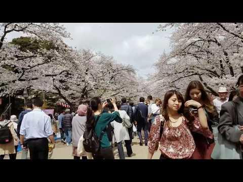 Japan trip - Sakura Cherry Blossom - Tokyo Ueno Meguro Kanda Naka-itabashi 2017 HD