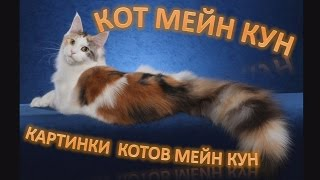 Коты Мейн Кун, само очарование!