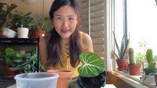 [Live] REPOTTING MY  NEW PLANT BABY - PHILODENDRON GLORIOSUM (EPIC FAIL)