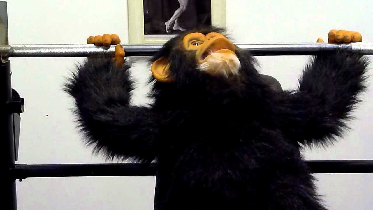 body builder Chimpanzee attempts new world record for bench press / bench  press world record
