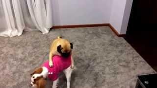 Puppy Ufc - Pug V King Charles Cavalier Spaniel