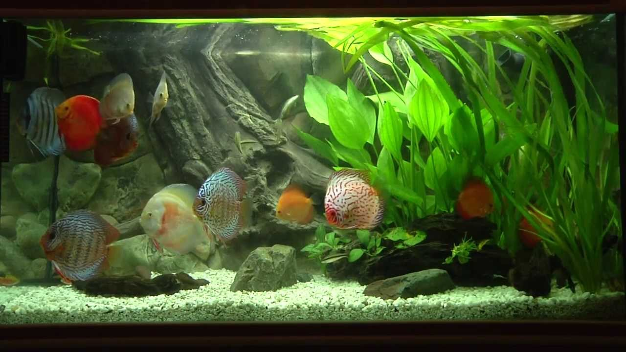 Discus fish tank youtube for Best water for fish tank