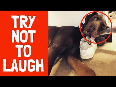Top 10 Funny Doberman Videos 2019 | Try Not To Laugh At This Ultimate Funny Animal Video Compilation