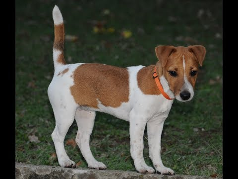 Jack Russell Terrier / Dog Breed