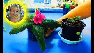 🌹🌹🌹КАК ВЫРАСТИТЬ ГЛОКСИНИЮ ИЗ ЛИСТА  ! How to grow gloxinia from a leaf