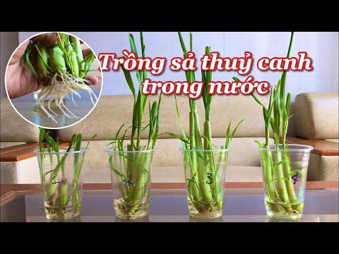 Cách trồng sả trong nước, rễ và lá rất tốt, để trong nhà đuổi muỗi|Growing lemongrass in water
