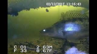Подводные съемки рыбы! Волга, Марий Эл, г.Козьмодемьянск. Дубовая! Видео подводная камера!