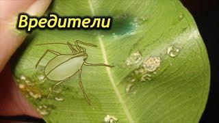 Вредители на Фикусе. Как избавиться от насекомых вредителей.