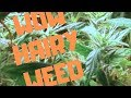 Hairy Weed Dr Grinspoon