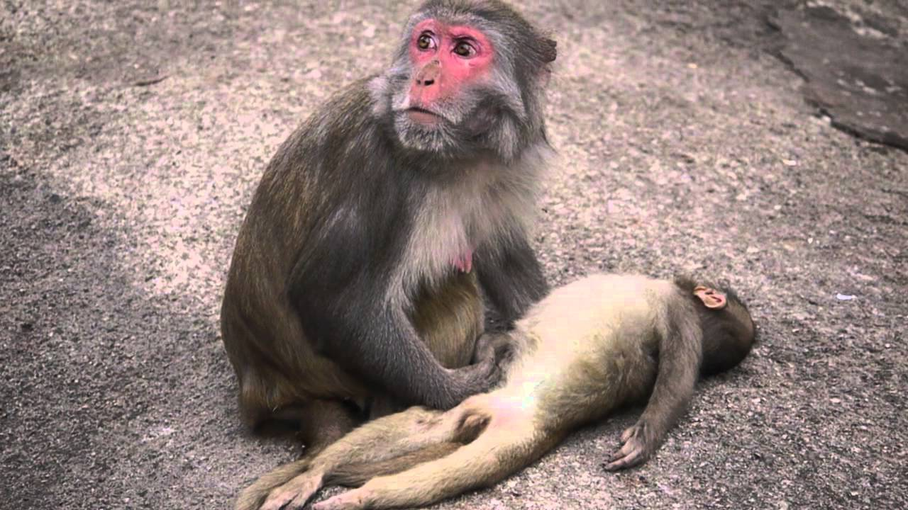 a mother monkey and her dead baby youtube