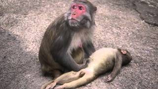 Repeat youtube video A Mother Monkey and her Dead baby