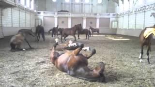 Horse Harlem shake