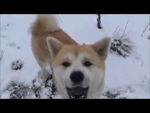 Akita Inu: winter off leash walk, talking and fun with Lapphund friend