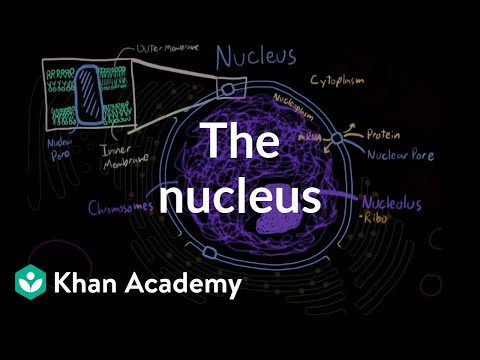 The nucleus | Cells | MCAT | Khan Academy