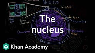 The nucleus | Cells | MCAT | Khan Academy