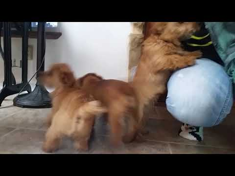 The Running of the Norfolk Terriers!
