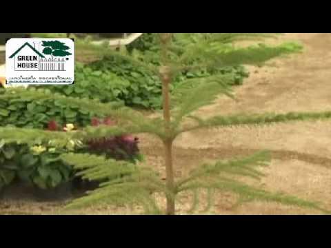 Variedad y cuidados de pinos youtube for Variedades de pinos para jardin